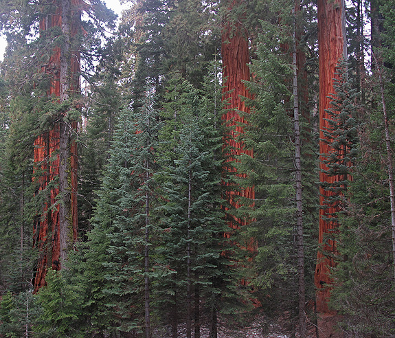 Sequoia fir encroachment