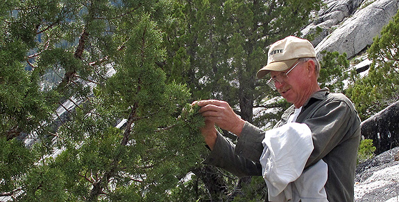 Richard Moore collecting a specimen of Juniperus occidentalis in the Miracle Mile - the18th conifer!