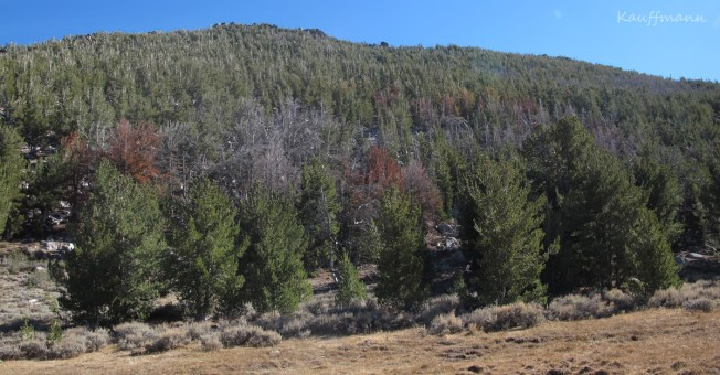 Mountain pine beetle mortality in the Pine Forest Range.