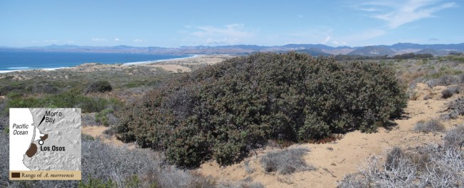 Arctostaphylos morroensis on a stablized dune complex in Montana de Oro State Park.