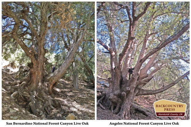 Comparing the two record Canyon Live Oaks.