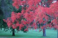 Redtree1