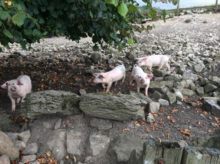 piglets at foot of Ingleborough