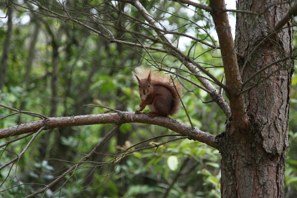 Red Squirrel on the Isle of Wight.