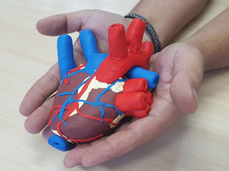 Alunos moldam réplica do coração humano para estudar anatomia