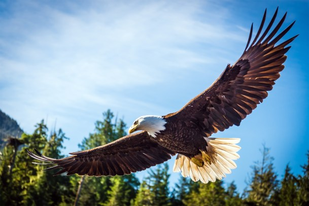Eagle flying see its full wingspan