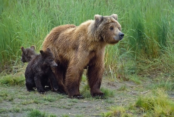 On western U.S. tours wildlife sightings may include mama Grizzlies With Cubs