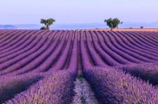 Lavender field near Valensole. Provence, France