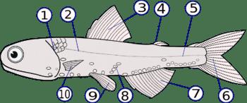 350px-Lampanyctodes_hectoris_(Hector's_lanternfish)2