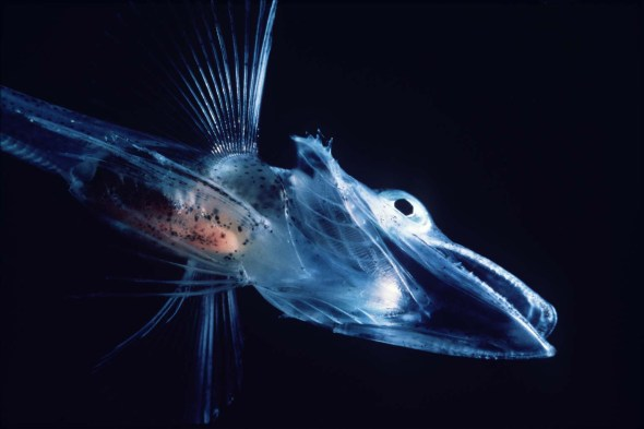 Common name: Ocellated Icefish. Scientific name: Chionodraco rastrospinosus. Family: Channichthyidae. Image: Wikimedia Commons.