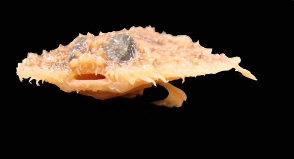 Common name: Louisiana pancake batfish. Scientific name: Halieutichthys intermedius. Family: Ogcocephalidae. Image: Flickr.