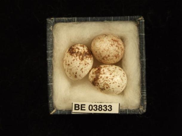 Whitefaces eggs. Image: Atlas of Living Australia