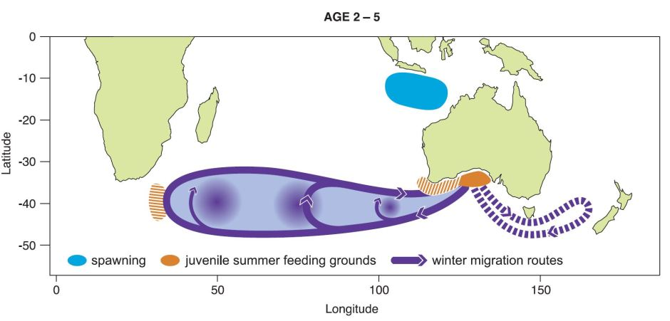 Schematic of juvenile SBT migrations, showing the distance and patterns of the SBT movement in it's youth.