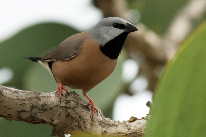 The black-throated finches of the Brigalow are regarded as endangered. Image Credit - Eric Vanderduys.