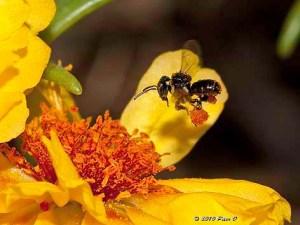 Stingless bee. Image credit Peter O