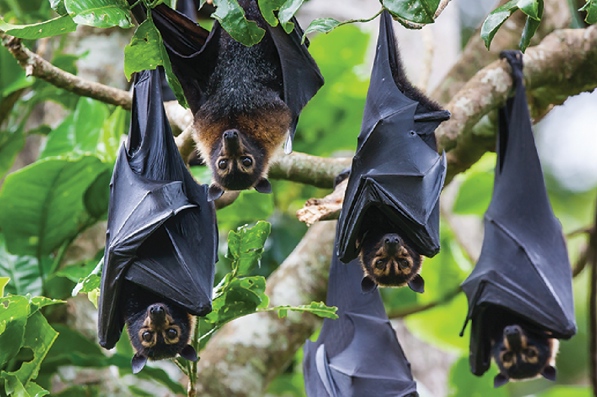 A group of flying foxes hanging upside down in a tree