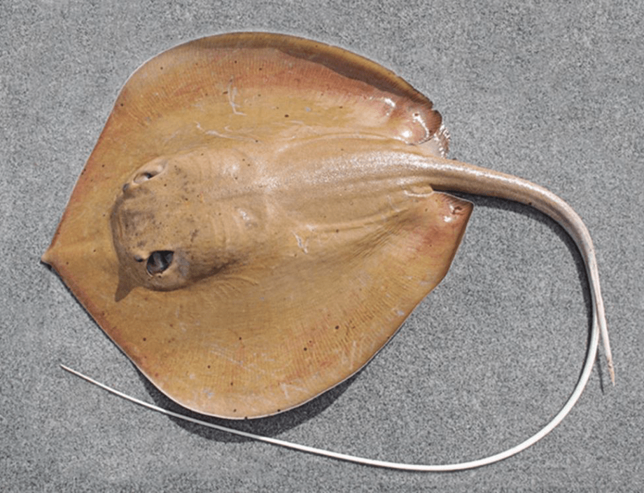 Dorsal side of a yellowish-grey coloured stingray with a long whip-like tail.