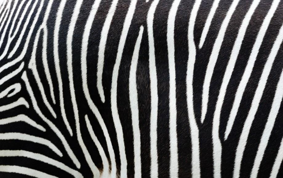 Close up of a zebra's stripes