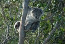 a koala in a tree looking down