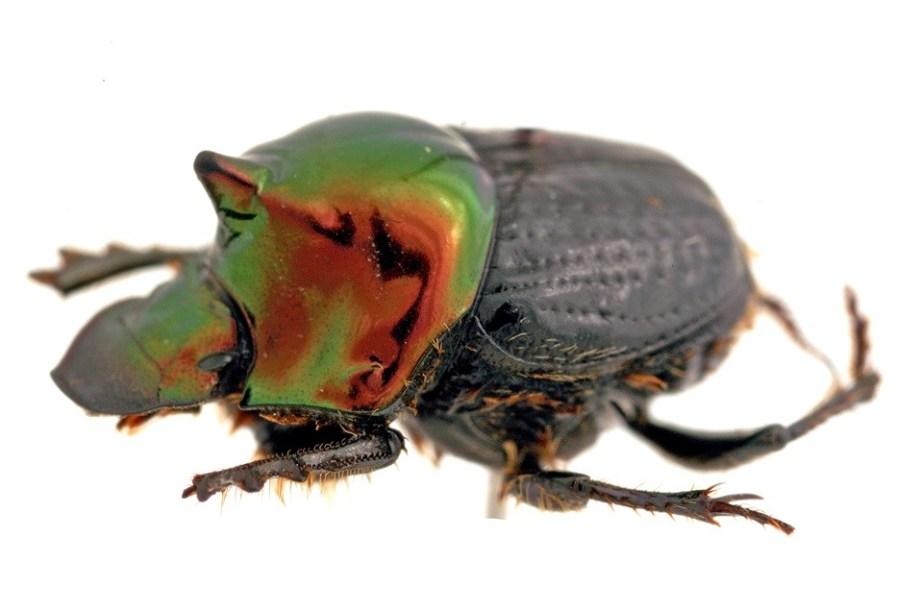 A shiny dung beetle: Onthophagus dandalu