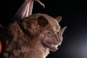 A Jamaican fruit bat, Artibeus jamaicensis