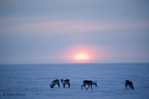 Caribous dans la réserve nationale sauvage de l'Arctique en Alaska