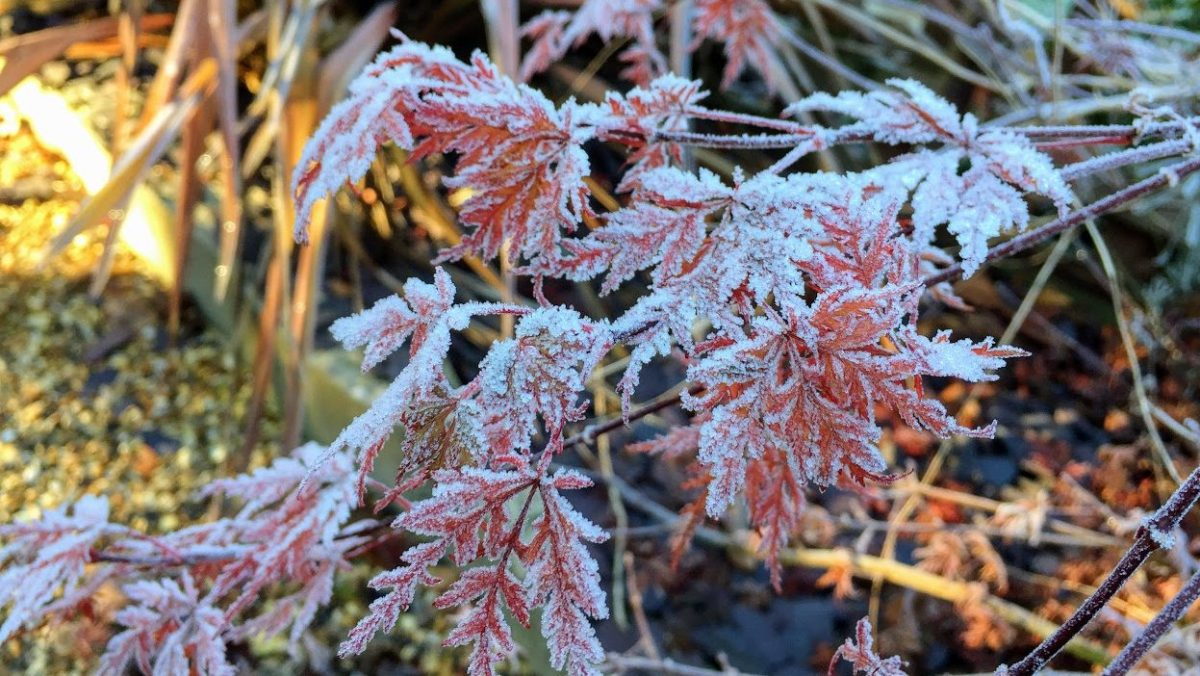 frost on red leaves