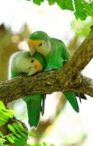ParrotCouple