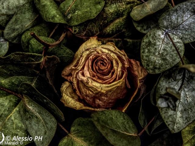 """Dantebus - """"Rosa in letto di foglie"""" Alessio PH"""