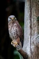 faucon-cressrel2