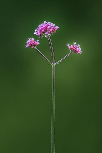 fleur-des-champs