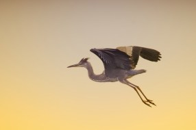 heron-cendre-en-vol