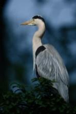 heron-cendre-nuit