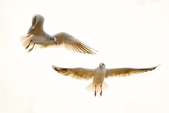 mouette-en-vol-test-nikon-d800