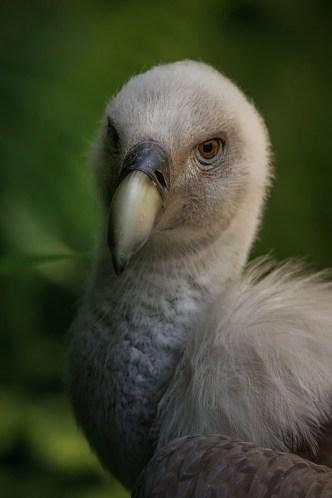 test-canon-700d-vautour-fauve