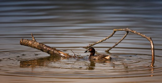 test-canon-ef-200-400-mm-f-4-canard-1024-grebe-castagneux