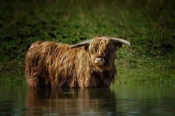 vache-au-bain