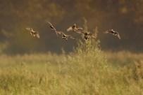 vol-de-canard
