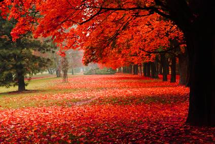 Image result for Maple trees