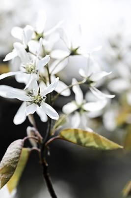 serviceberry tree in spring