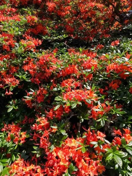 Rhododendrons in Trelissick garden