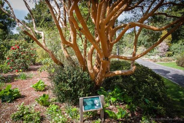 Chilean Myrtle tree Pukeiti Gardens Taranaki