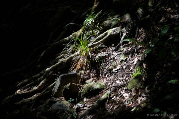 Vegetation on Mt Te Aroha track