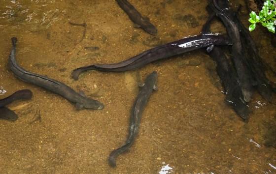 Eels at Mt Bruce