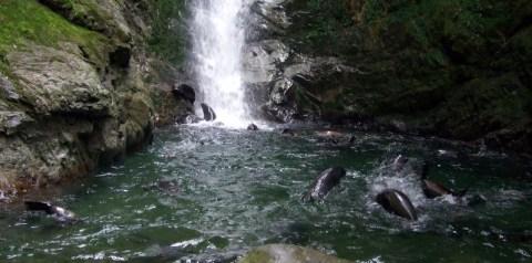 Seal pups playing in waterfall pool