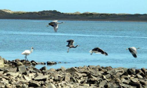 Port Waikato - Herons