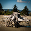 Tree stump Tahunanui