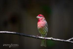 Male Finch In Sunlight