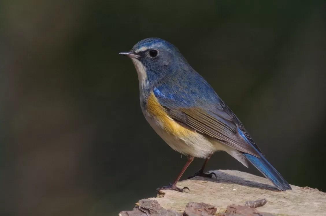 BORG77EDⅡで撮影した野鳥・ルリビタキの写真画像