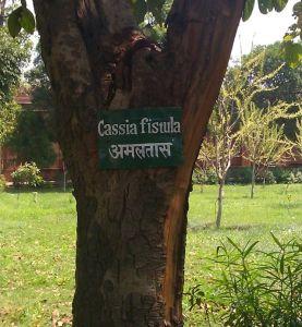 fistula tree